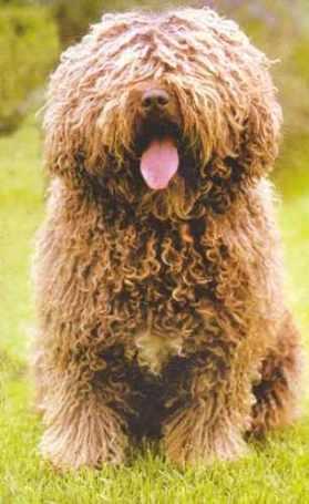 perro dorado II