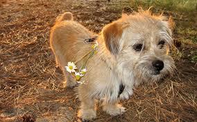 perro dorado V